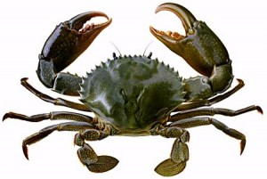 Image of Raising Mud Crabs