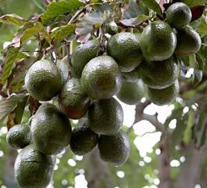 tree-avocado