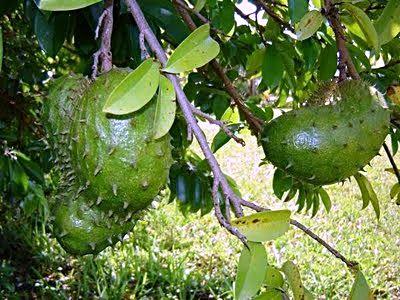 guyabano-tree