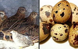 Image of Quail Raising