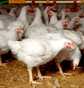 Image of Broiler Chicken Production