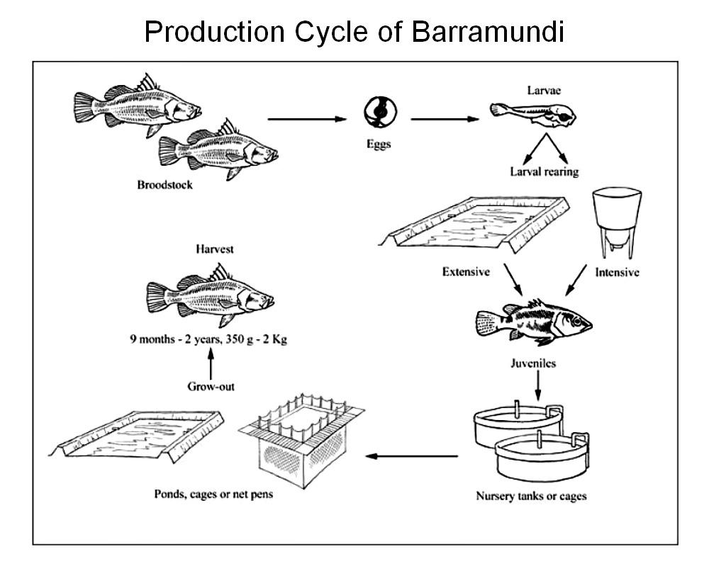 raising asian sea bass or barramundi