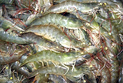 Whiteleg Shrimp Culture
