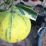 Grow Fruit Trees in Containers