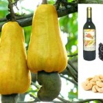 Processed Food Products from Cashew
