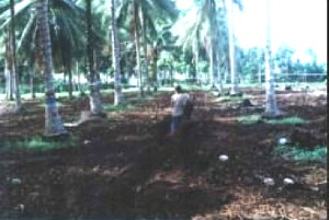 Coconut-Corn Intercropping